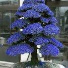 Rare Tree bonsais Bonsai Plant JAPANESE Cedar X 100 Seeds Variety  5