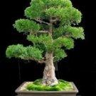 Rare Tree bonsais Bonsai Plant JAPANESE Cedar X 100 Seeds Variety  6