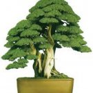 Rare Tree bonsais Bonsai Plant JAPANESE Cedar X 100 Seeds Variety  8