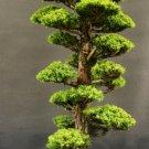 Rare Tree bonsais Bonsai Plant JAPANESE Cedar X 100 Seeds Variety  11