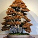 Rare Tree bonsais Bonsai Plant JAPANESE Cedar X 100 Seeds Variety 13