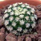 100 Pcs African Cactus Flower Bonsai Succulent Plant  variety  2