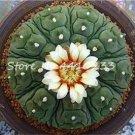100 Pcs African Cactus Flower Bonsai Succulent Plant  variety  4