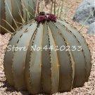 100 Pcs African Cactus Flower Bonsai Succulent Plant  variety 7