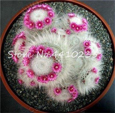 100 Pcs African Cactus Flower Bonsai Succulent Plant  variety   11