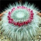 100 Pcs African Cactus Flower Bonsai Succulent Plant  variety  13