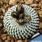 100 Pcs African Cactus Flower Bonsai Succulent Plant  variety  14