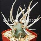 100 Pcs African Cactus Flower Bonsai Succulent Plant  variety 18