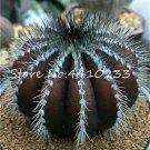 100 Pcs African Cactus Flower Bonsai Succulent Plant  variety 119