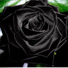 100Pcs Mysterious Black Rose Flower Plant Seeds Beautiful Black Rose