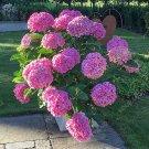 Hydrangea Paniculata 20 pack  seeds variety  3