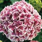 Hydrangea Paniculata 20 pack  seeds variety  7