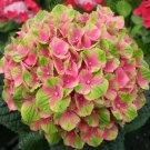 Hydrangea Paniculata 20 pack  seeds variety  12