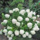 Hydrangea Paniculata 20 pack  seeds variety  13