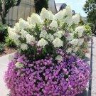 Hydrangea Paniculata 20 pack  seeds variety  14