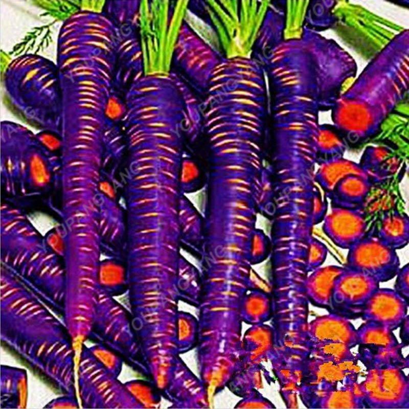 200pcs Super Giant Carrot Russian Heirloom Gardeb Var. 11