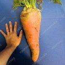 200pcs Super Giant Carrot Russian Heirloom Gardeb Var. 14