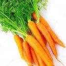 200pcs Super Giant Carrot Russian Heirloom Gardeb Var. 15