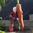 200pcs Super Giant Carrot Russian Heirloom Gardeb Var. 16