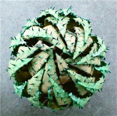 50 Pcs Rainbow Bonsai Aloe Succulent Plants Edible Beauty Fruit variety 8