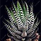 50 Pcs Rainbow Bonsai Aloe Succulent Plants Edible Beauty Fruit variety   13
