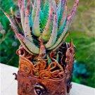 50 Pcs Rainbow Bonsai Aloe Succulent Plants Edible Beauty Fruit variety   21