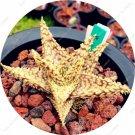 50 Pcs Rainbow Bonsai Aloe Succulent Plants Edible Beauty Fruit variety   22