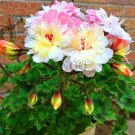 100pcs/lot Rare Geranium ,Pelargonium, Zonal Geranium Perennial Flower flores