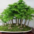 20pcs Japanese White Pine Pinus Parviflora Green Plants Tree Bonsai Seeds