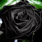 100Pcs Mysterious Black Rose Flower Plant Seeds Beautiful Black Rose