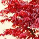 10PCS JAPANESE MAPLE TREE Acer Palmatum Red Maple Seeds