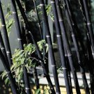 100Pcs Phyllostachys Pubescens Moso-Bamboo Seeds Garden Plants Black