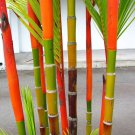 100Pcs Phyllostachys Pubescens Moso-Bamboo Seeds Garden Plants Colorful