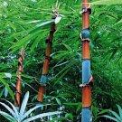 100Pcs Phyllostachys Pubescens Moso-Bamboo Seeds Garden Plants Tinwa