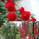 100PCS Climbing Red Rose Seeds Rosa Multiflora Perennial Fragrant Flower New