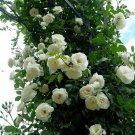 100PCS Climbing WhiteRose Seeds Rosa Multiflora Perennial Fragrant Flower New