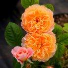 100PCS Climbing Orange Rose Seeds Rosa Multiflora Perennial Fragrant Flower New