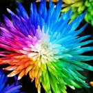20PCS Rainbow Chrysanthemum Flower Seeds rare color Home Garden