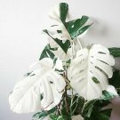 100PCS White Monstera Seed Home  Houseplants turtle Leaves Plant Palm Tree