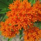 30x ORANGE BUTTERFLY MILKWEED Asclepias Flower Seeds .Gele Garden