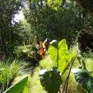 Colocasia esculenta 'Fontanesii' 6 bulbs