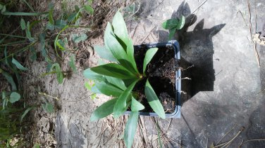"""Carolina lily growing in a 4"""" container."""