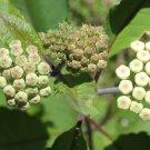 25 Redring milkweed, Asclepias variegata seeds harvested September of 2017