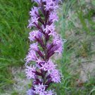 Liatris acidota 25 seeds