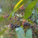 Rhamnus caroliniana - Carolina  - edible berries - 25 seeds