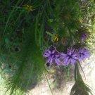 Liatris tenuis 50 seeds 2017 Gulf Blazing Star