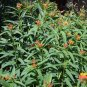 Asclepias curassavica, Mexican Milkweed, TWO 1/2 pints