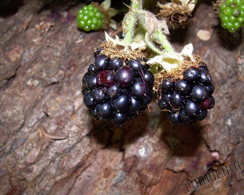Blackberries - 8x10 - Original Fine Art Photograph - FREE SHIPPING