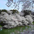 10+ Prunus Serrulata (Mountain Sakura) seeds
