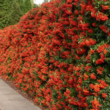 250+ Pyracantha Coccinea (Scarlet Firethorn) seeds. FREE S&H